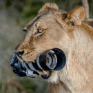 Lion Steals Photographer's Camera, Gives It to Her Cubs as ...
