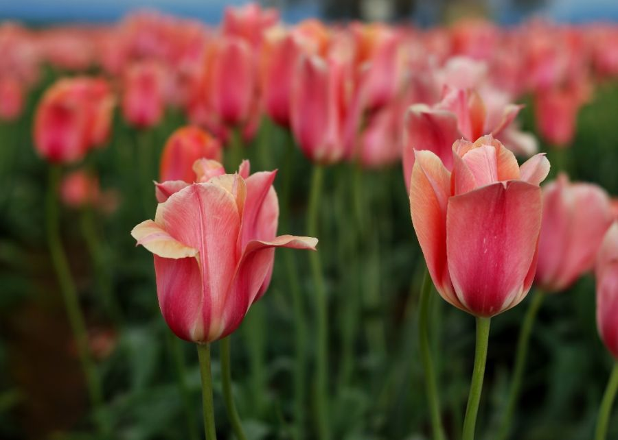 Pink Ones