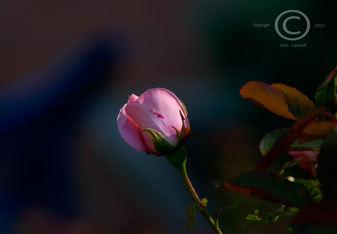 Rosebud,-East-Hampton
