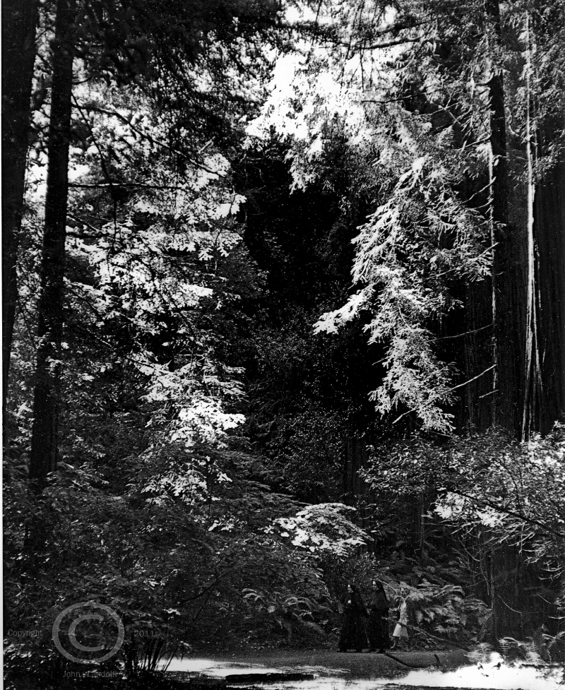 Sequoias,-Muir-Woods,-CA