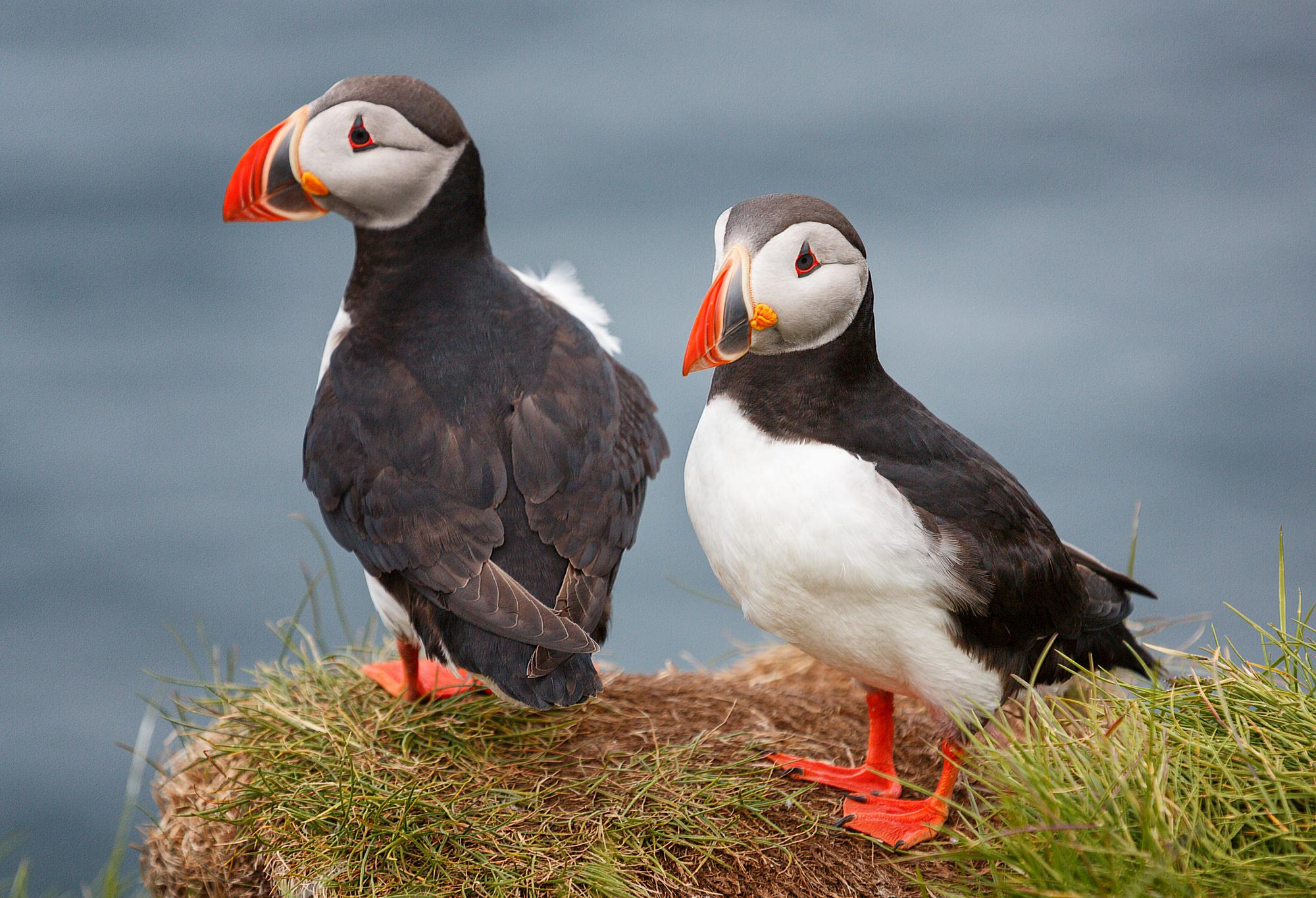 two puffins named desire