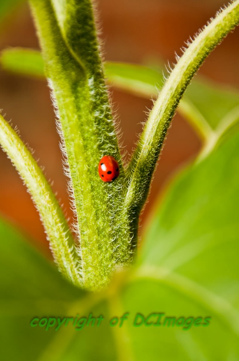 Ladybird on Sunflower stem