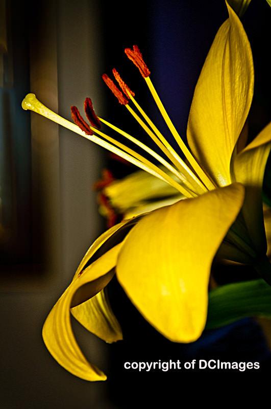 lillies 012