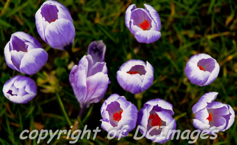 Crocuses on the Stray in Harrogate