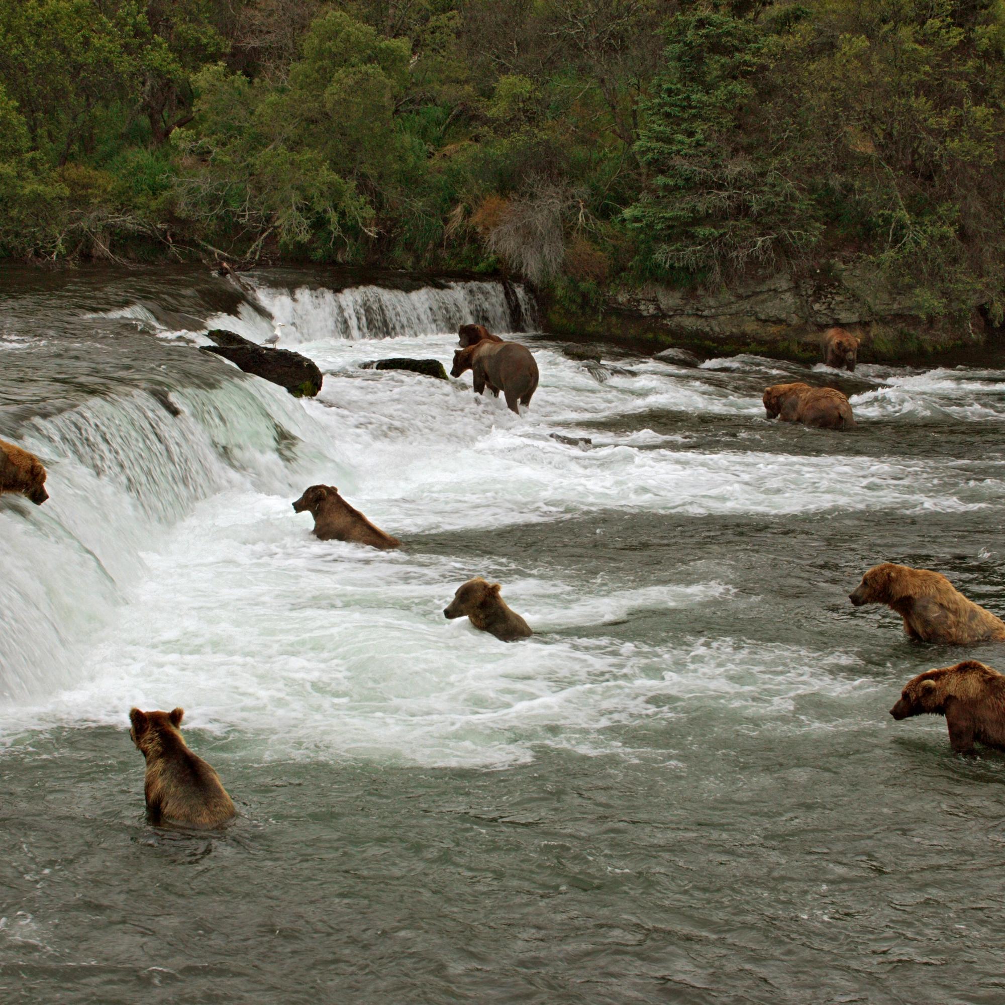 Grizzlies In Alaska