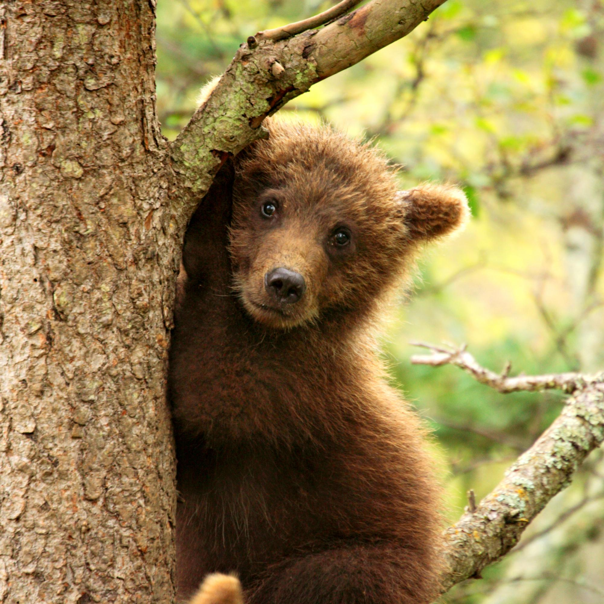 Young Grizzly Playing Peek A Boo In A Tree