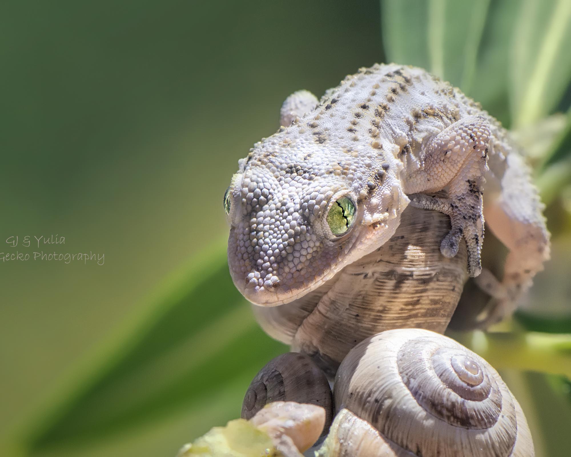 June Gecko