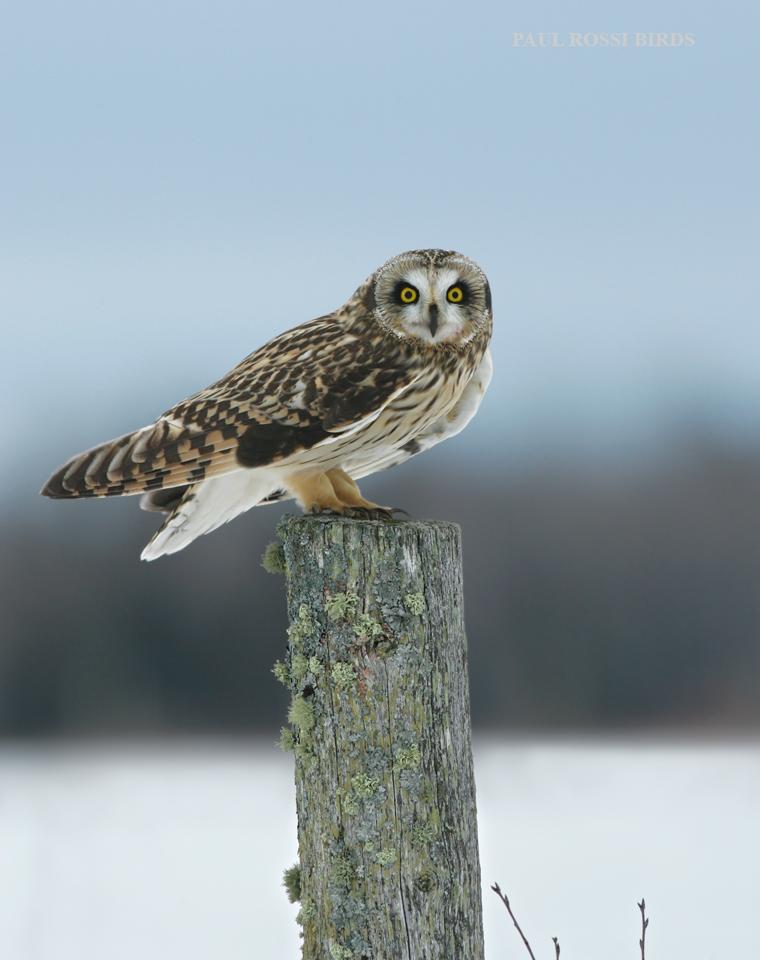 Short-eared Owl Hunting