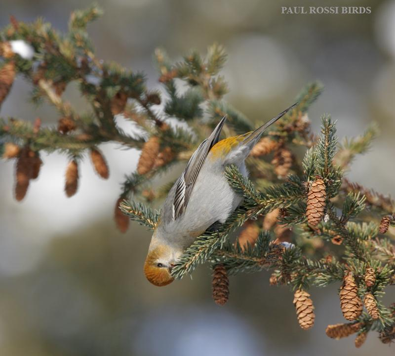 Female Pine Grosbeak Feeding