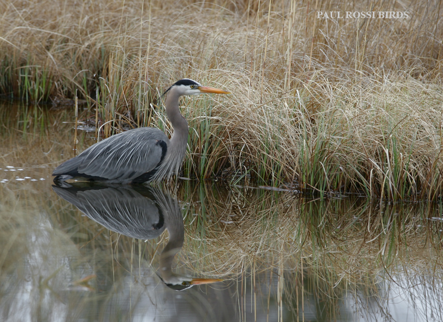 Great Blue Heron Marsh Reflection