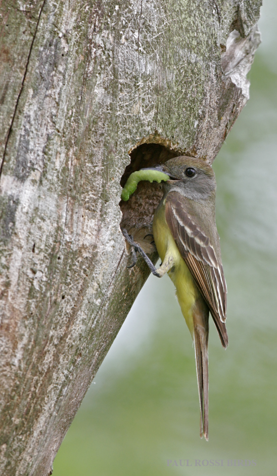 Great-crested Flycatcher with Caterpiller