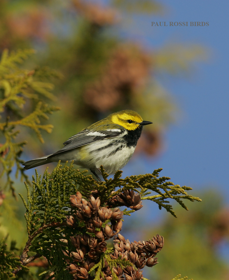 Male Black-throated Green Warbler in Cedar Cones