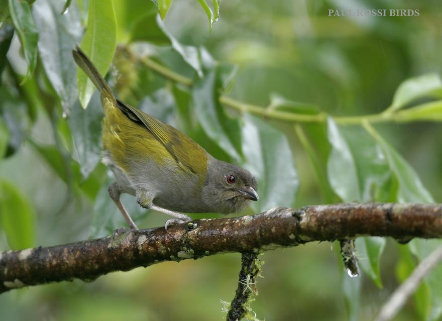 Ashy-throated Bush Tanager