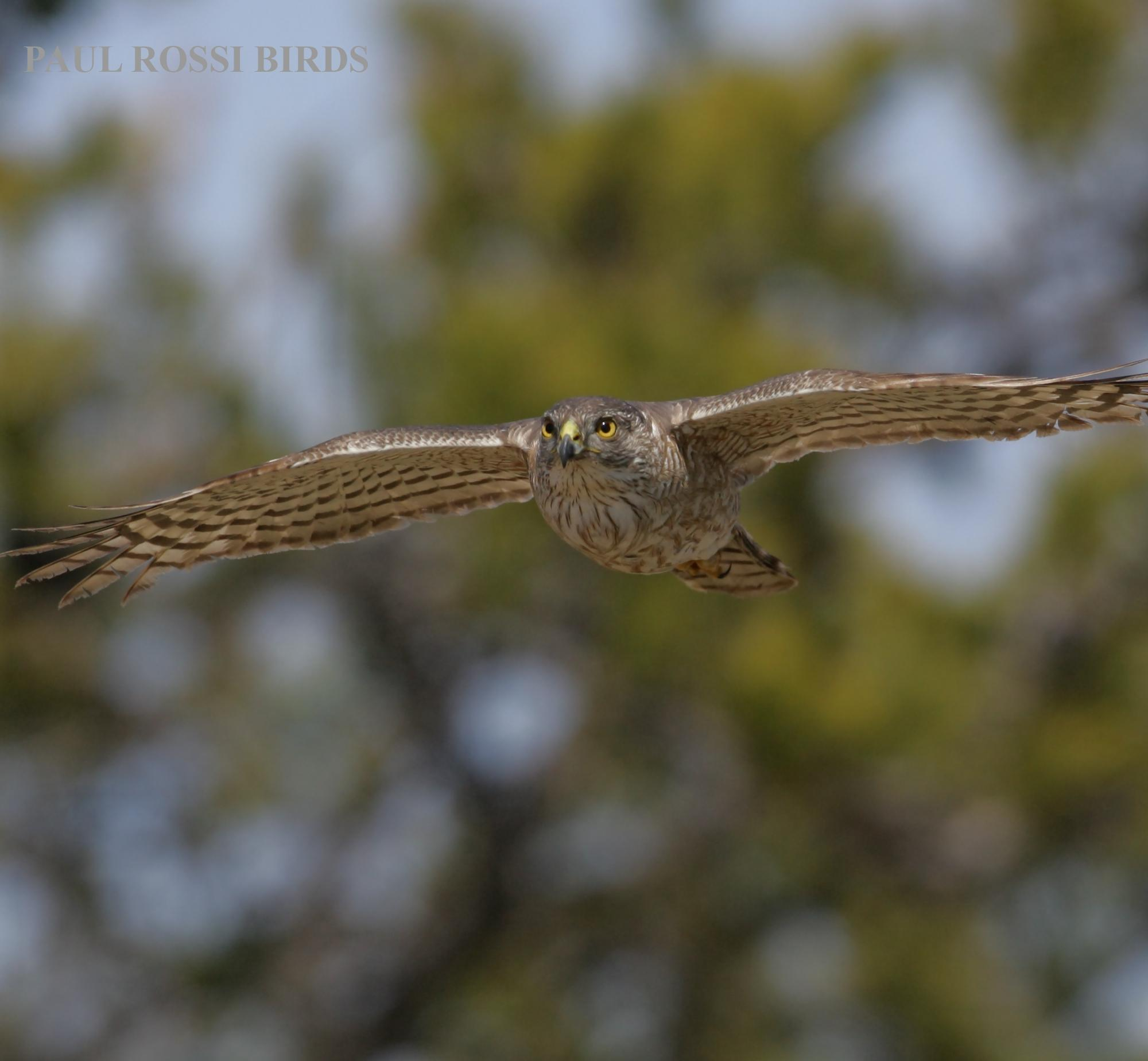 Immature Sharp-shinned Hawk Flight