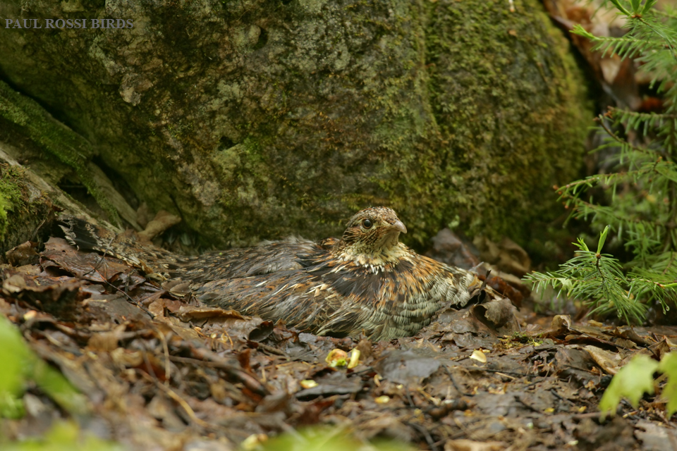 Nesting Ruffed Grouse