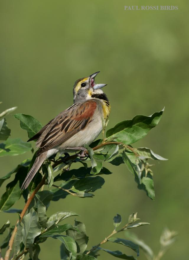 Male Dicscissel Singing