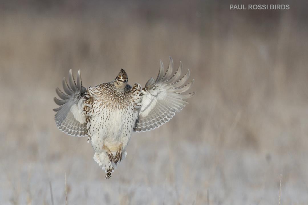 Sharp-tailed Grouse Landing 2