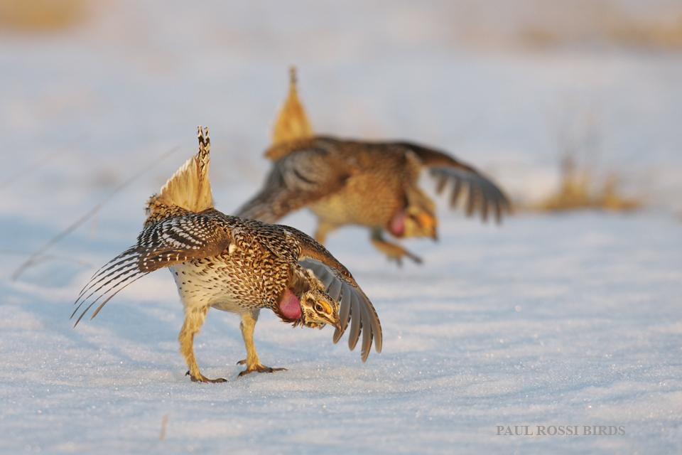 Sharp-tailed Grouse Dancing on Snow