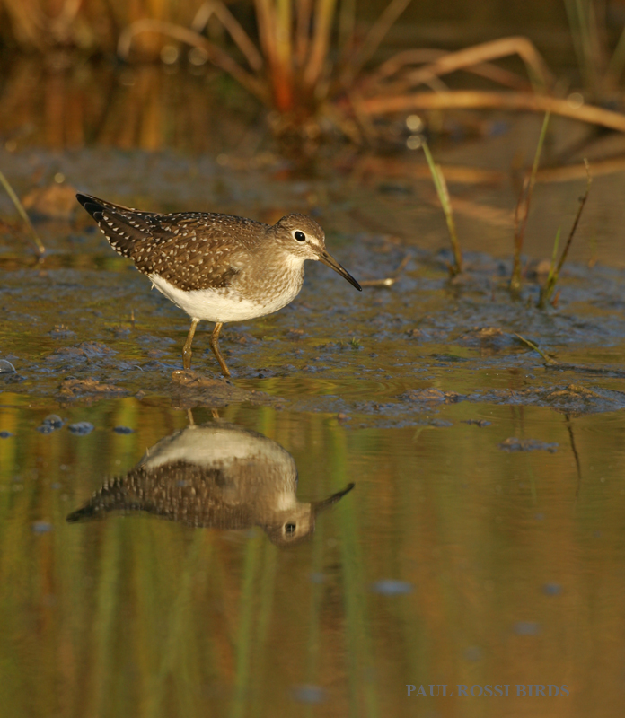 Solitary Sandpiper Reflection