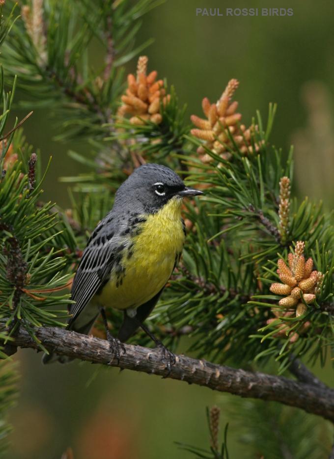 Male Kirtland's Warbler in Jackpine Cones