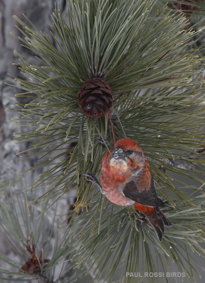 Male Red Crossbill on Cones 2