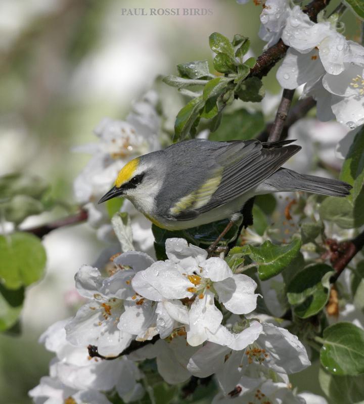 Brewsters Warbler in Flowers