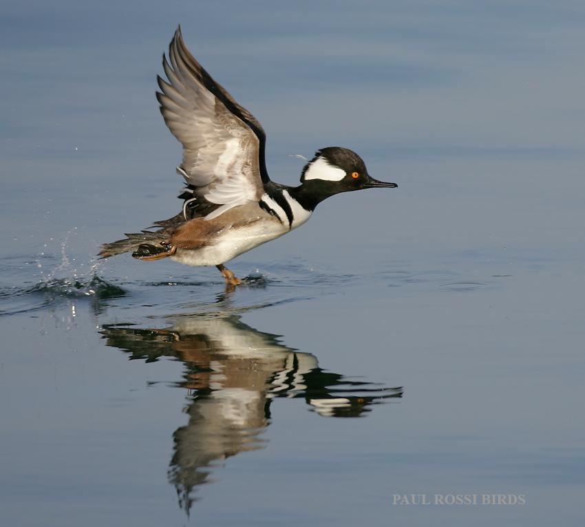 Male Hooded Merganser Running Takeoff
