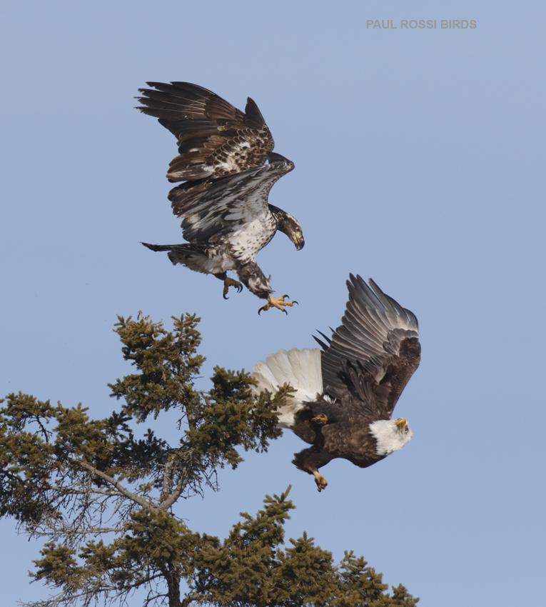 Bald Eagle Attack 3