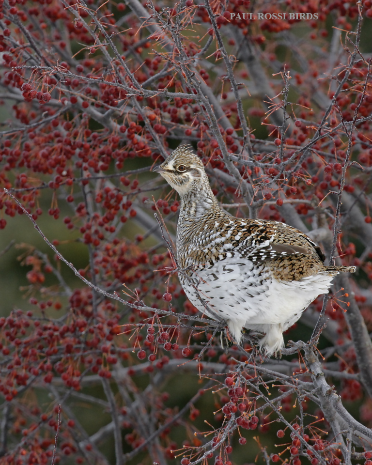 Sharp-tailed Grouse in Crabapple Tree