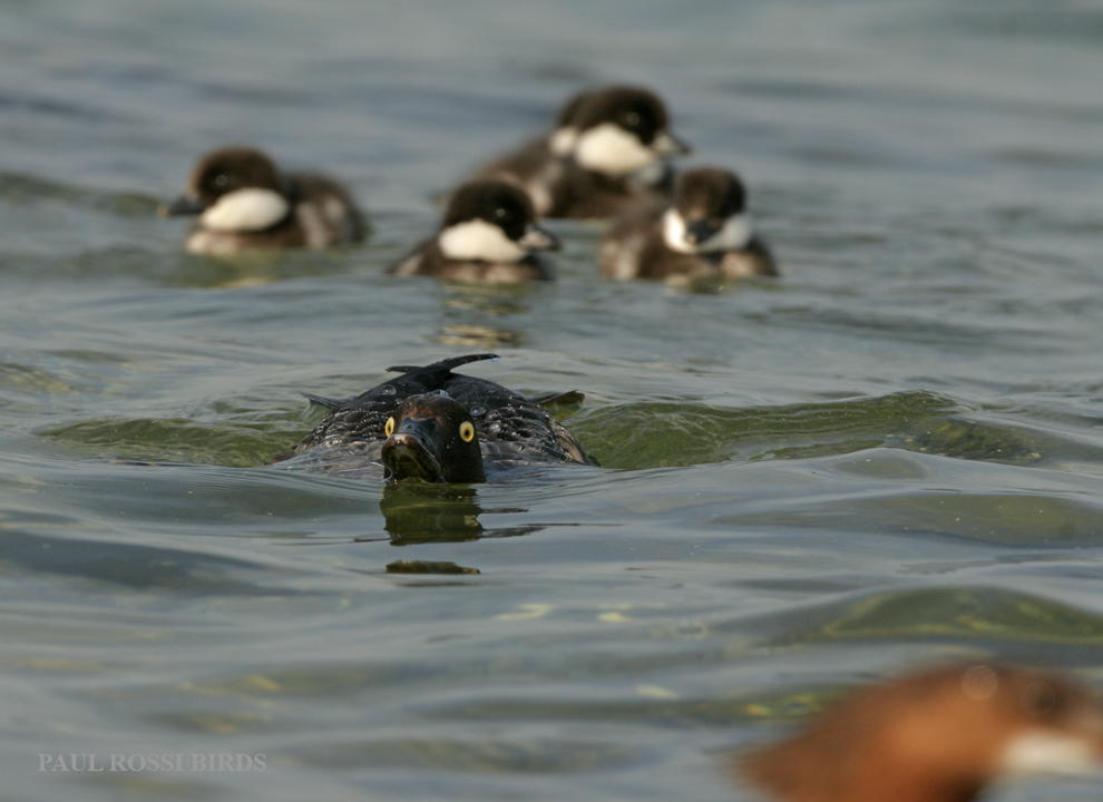 Female Goldeneye Brood Defense