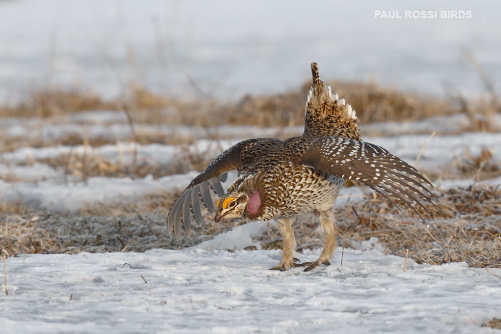 Sharp-tailed Grouse Dancing 1