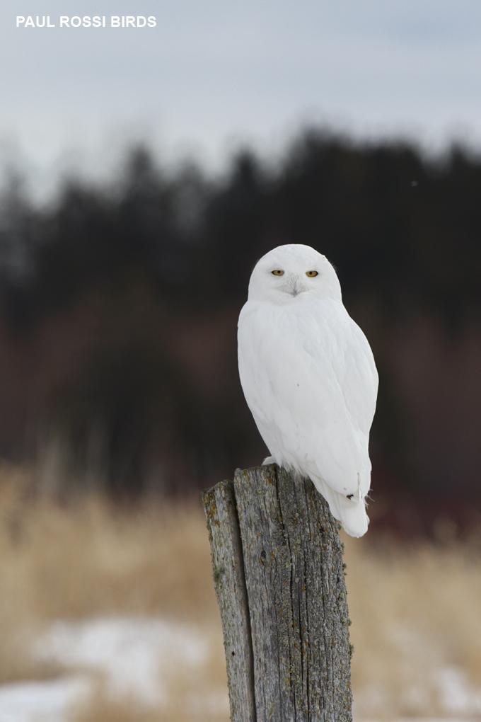 Male Snowy Owl on Post