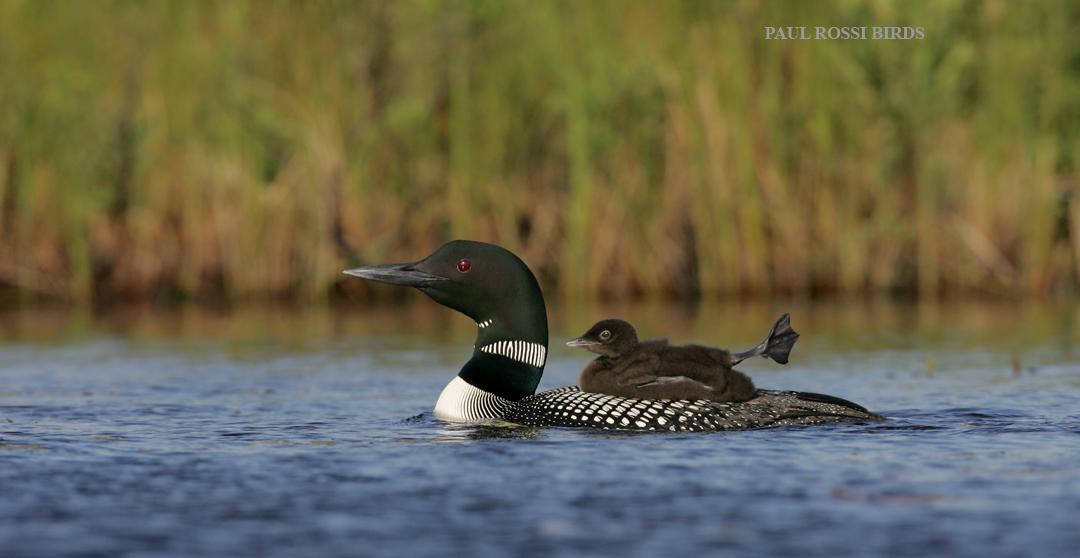 Common Loon Chick Leg Stretch