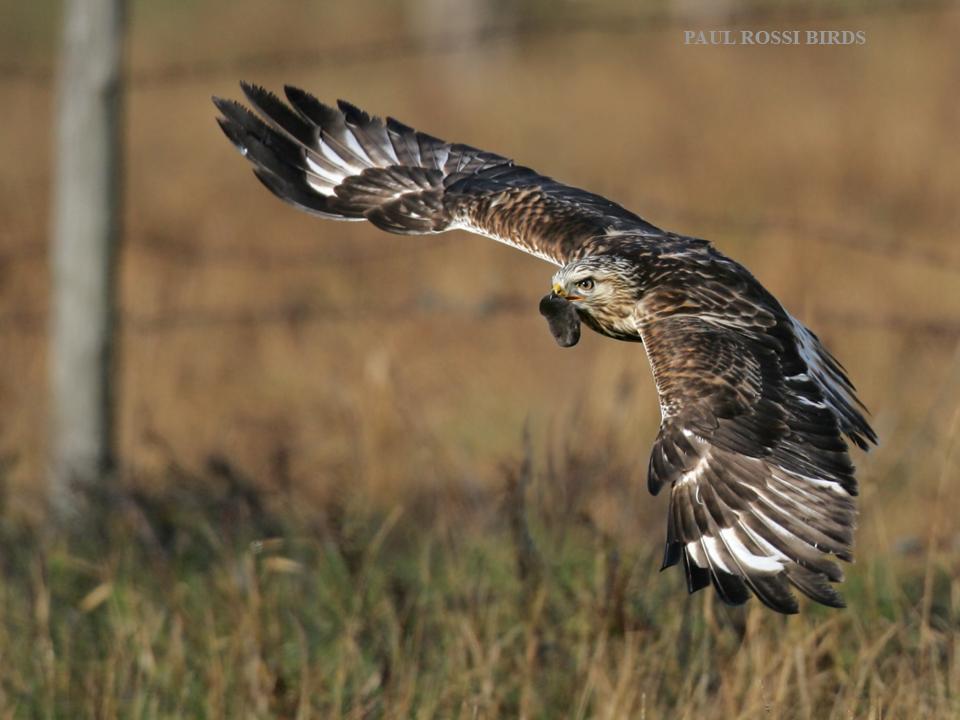 Rough-legged Hawk Captures Mole