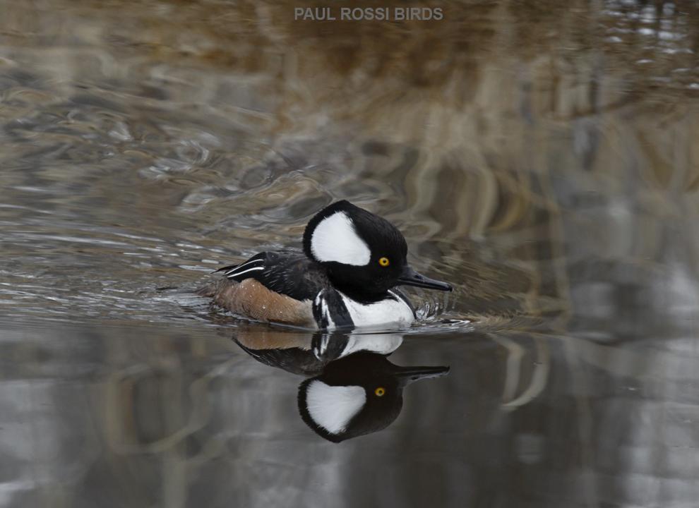 Male Hooded Merganser in Creek Reflection