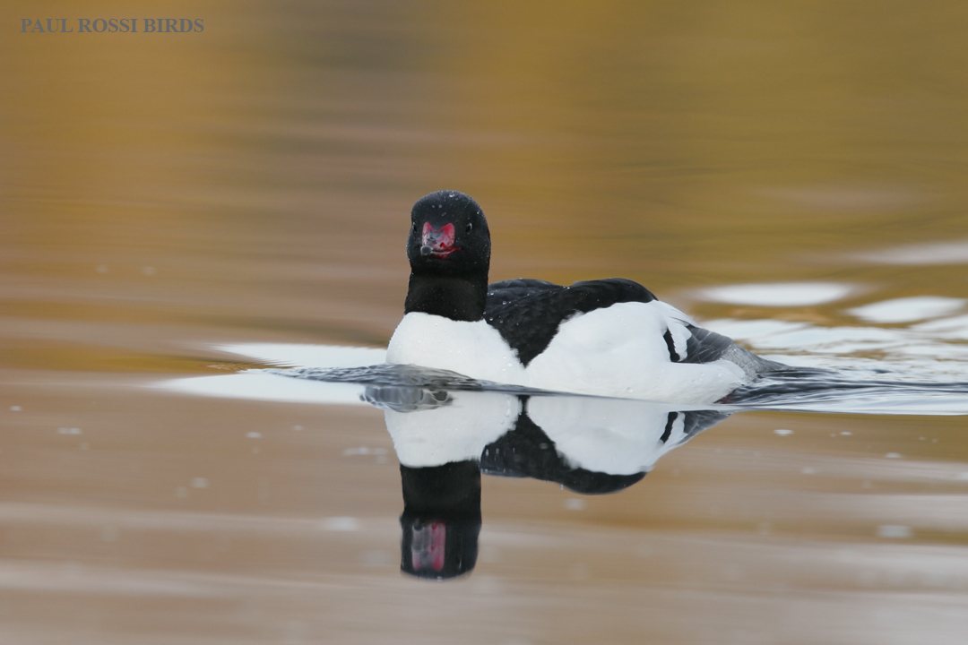 Male Common Merganser Reflection