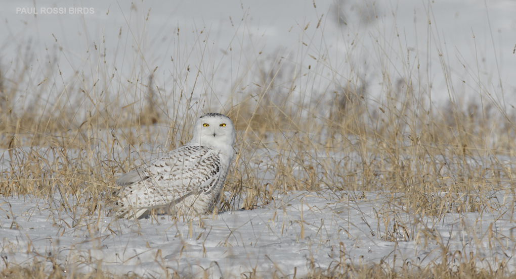 Snowy Owl in Hay Field 2
