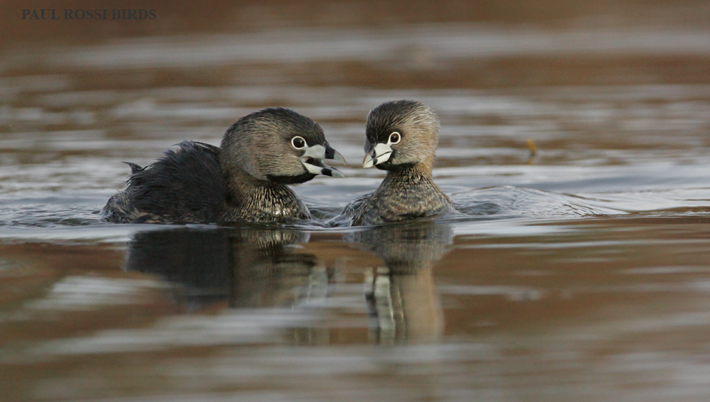 Pied-billed Grebe Pair Bonding