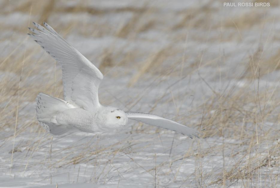 Snowy Owl Hay Field Flight