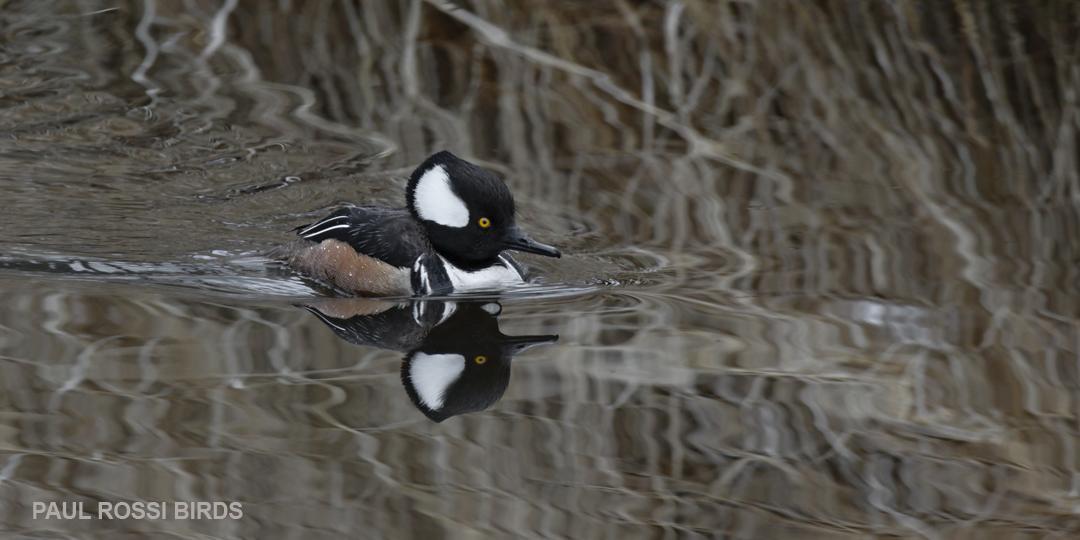 Male Hooded Merganser Creek Reflection 2
