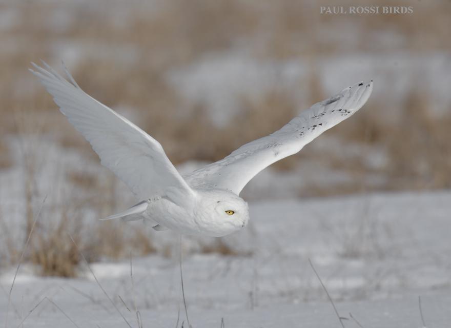 Snowy Owl Field Flight