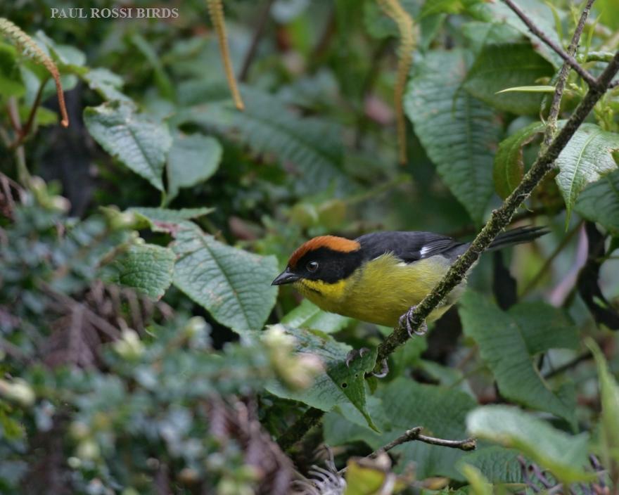 Rufous-naped Brushfinch 2