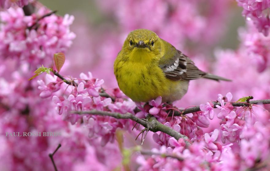 Male Pine Warbler in Redbud