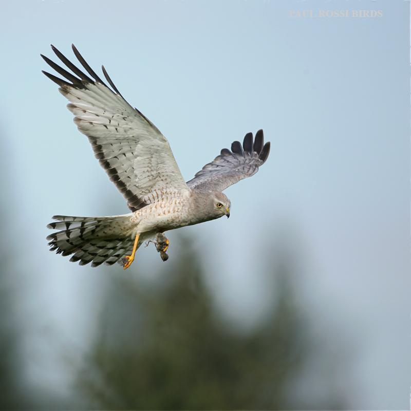 Male Northern Harrier with Prey