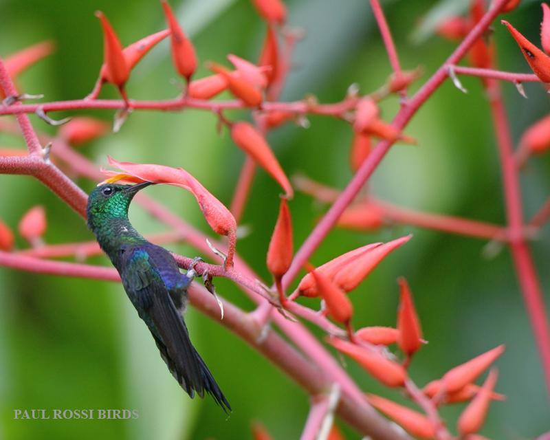 Green-crowned Woodnymph Hummingbird 2