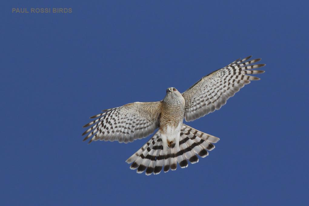 Sharp-shinned Hawk Riding Thermal