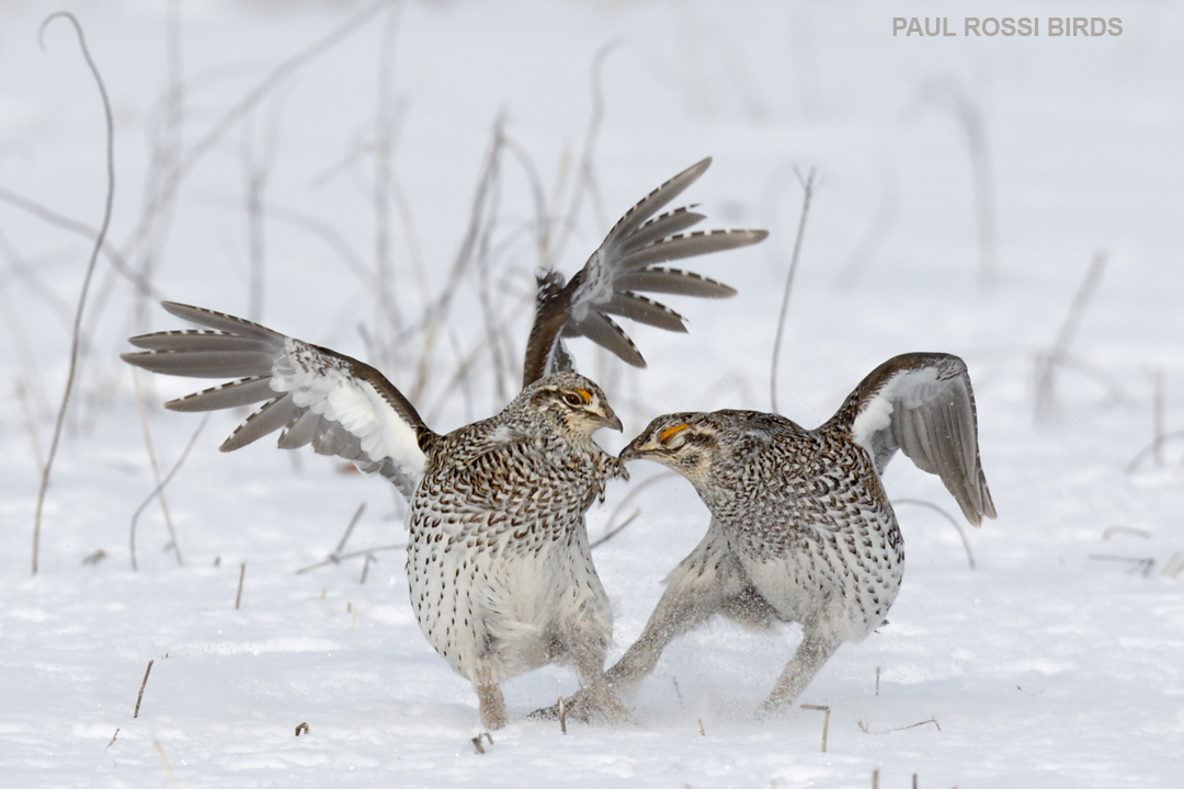 Sharp-tailed Grouse Fighting d2