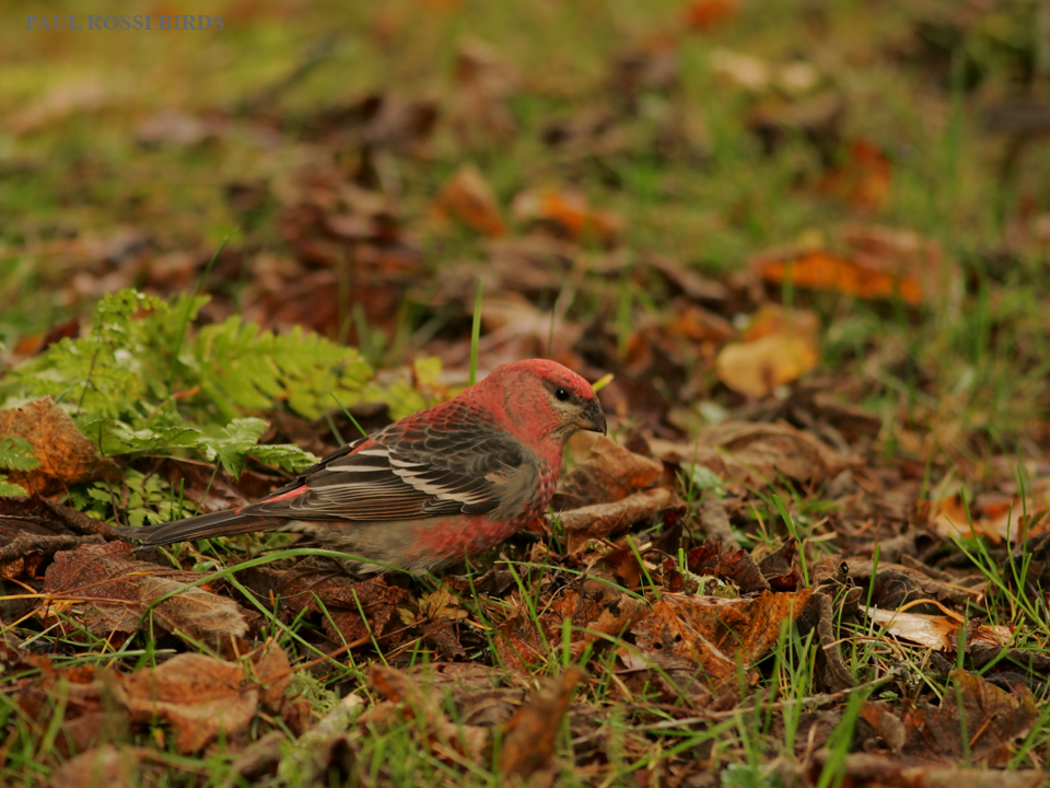 Male Pine Grosbeak on Fall Forest Floor