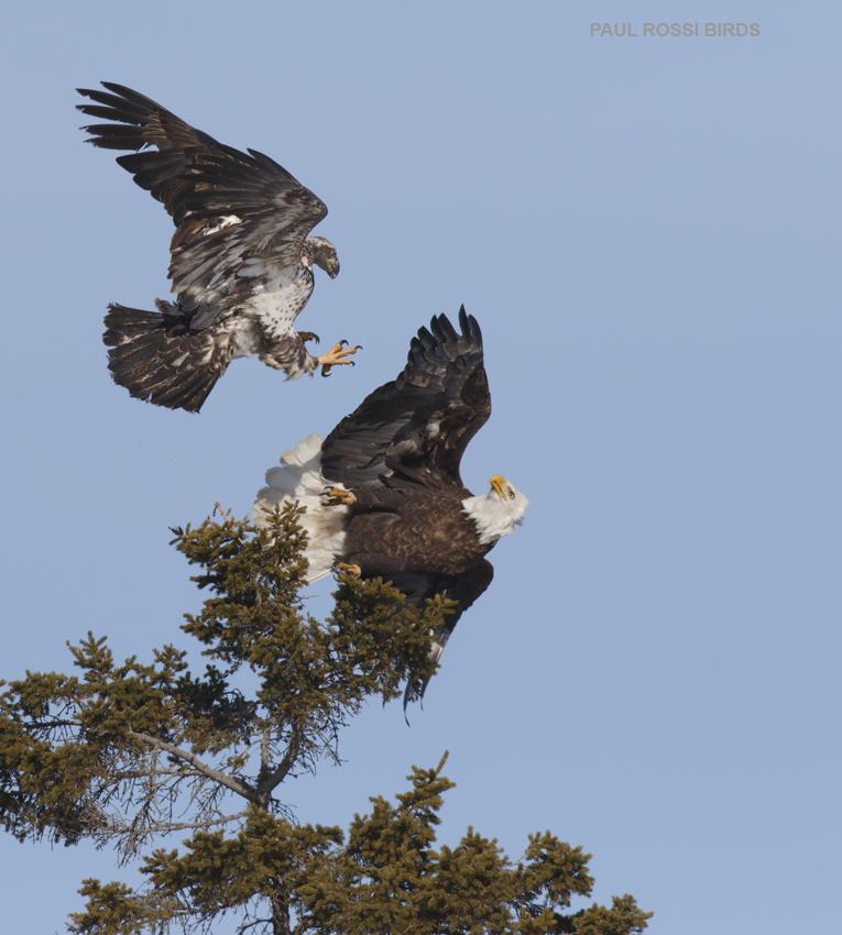 Bald Eagle Attack 1