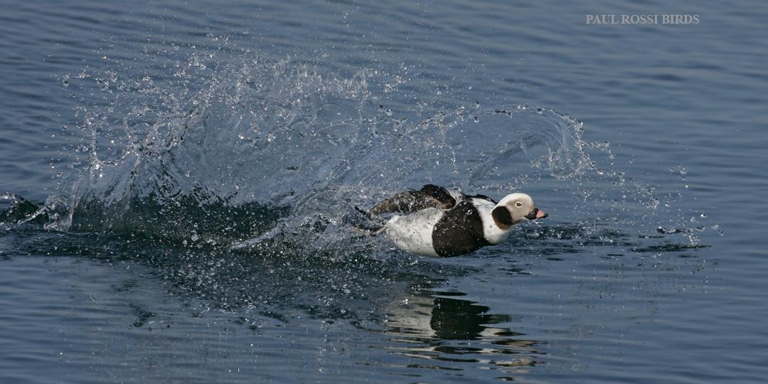 Long-tailed Duck Crash Landing